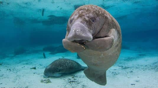 Manatee Expeditions - Swim With The Manatees in Crystal River